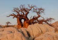 Baobabům hrozí vyhynutí kvůli změně klimatu a lidskému rozvoji
